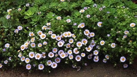 ダルマギクが咲いています_b0214473_835395.jpg