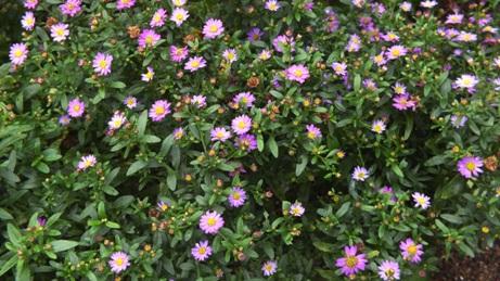 ダルマギクが咲いています_b0214473_836149.jpg