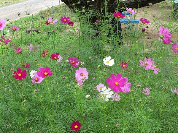 2017年10月25日 コスモスの花が咲く !_b0341140_15453848.jpg