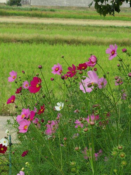 2017年10月25日 コスモスの花が咲く !_b0341140_15462451.jpg