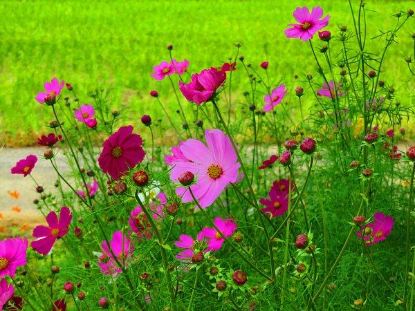 2017年10月25日 コスモスの花が咲く !_b0341140_15464159.jpg