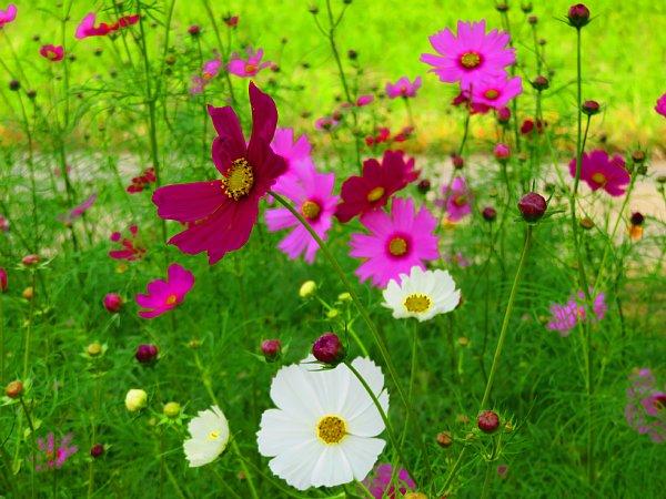 2017年10月25日 コスモスの花が咲く !_b0341140_15465572.jpg