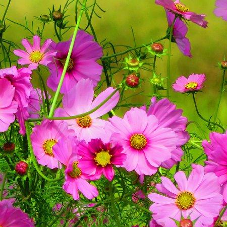 2017年10月25日 コスモスの花が咲く !_b0341140_1547186.jpg