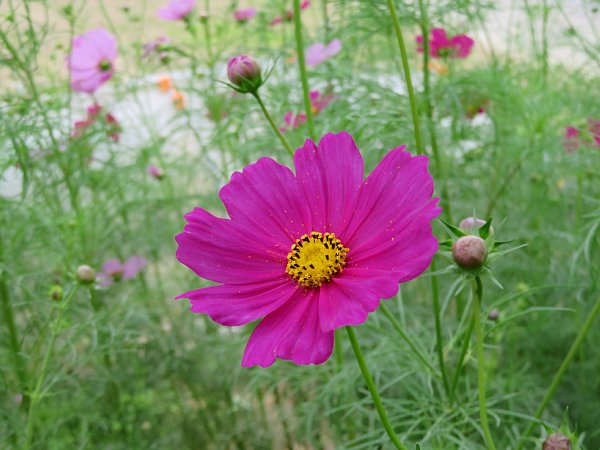 2017年10月25日 コスモスの花が咲く !_b0341140_15473377.jpg