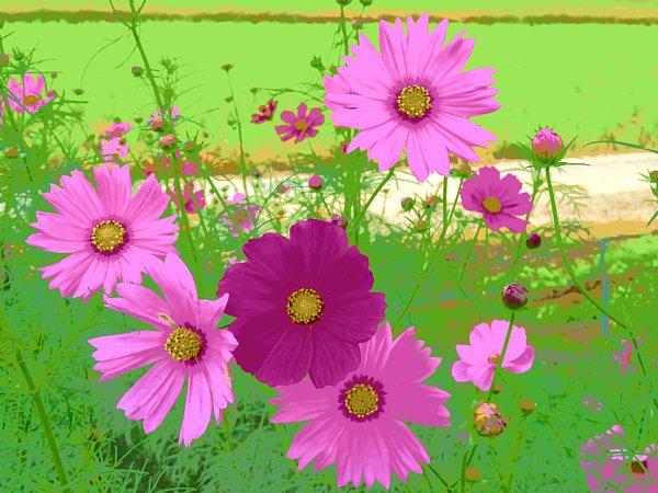 2017年10月25日 コスモスの花が咲く !_b0341140_154775.jpg