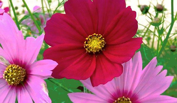 2017年10月25日 コスモスの花が咲く !_b0341140_1548091.jpg