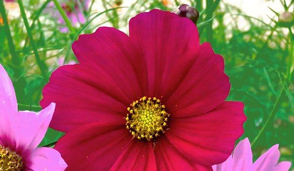 2017年10月25日 コスモスの花が咲く !_b0341140_15481039.jpg