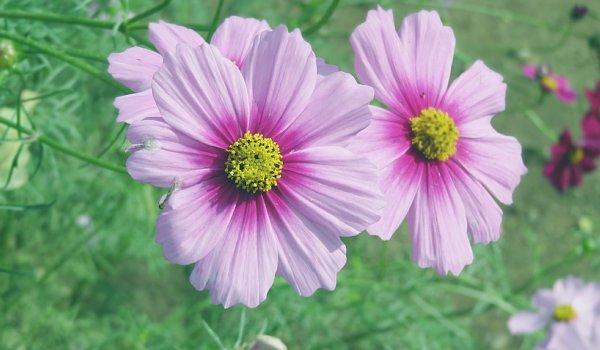 2017年10月25日 コスモスの花が咲く !_b0341140_15482022.jpg
