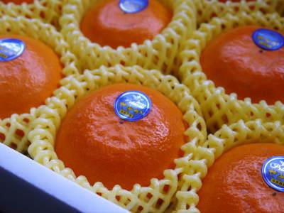 究極の柑橘「せとか」 色が抜け始めました!まもなくハウスにビニールをはり潅水と温度管理で仕上げていきます_a0254656_17390964.jpg