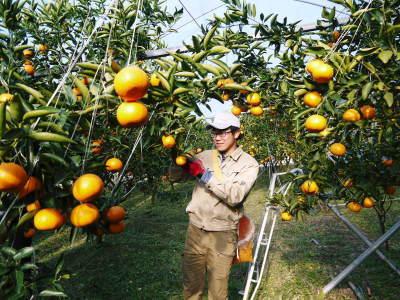 究極の柑橘「せとか」 色が抜け始めました!まもなくハウスにビニールをはり潅水と温度管理で仕上げていきます_a0254656_17461775.jpg