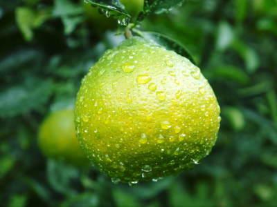 究極の柑橘「せとか」 色が抜け始めました!まもなくハウスにビニールをはり潅水と温度管理で仕上げていきます_a0254656_18063911.jpg