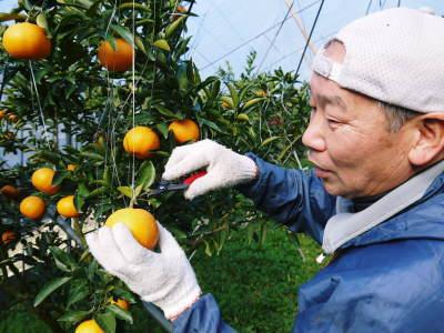 究極の柑橘「せとか」 色が抜け始めました!まもなくハウスにビニールをはり潅水と温度管理で仕上げていきます_a0254656_18461318.jpg