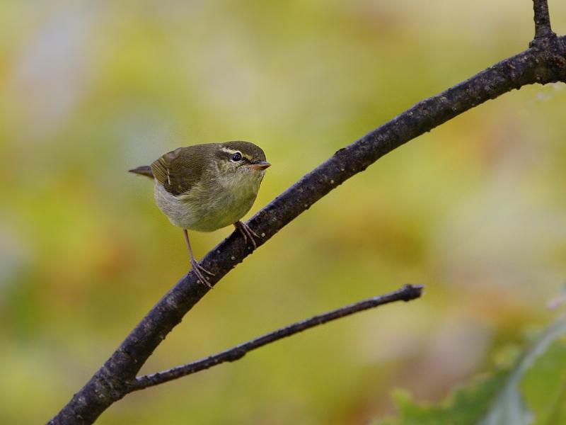 山小屋から鳥見(8)(秋色のメボソムシクイ)_a0204089_633660.jpg