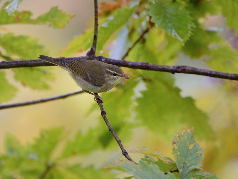 山小屋から鳥見(8)(秋色のメボソムシクイ)_a0204089_635283.jpg