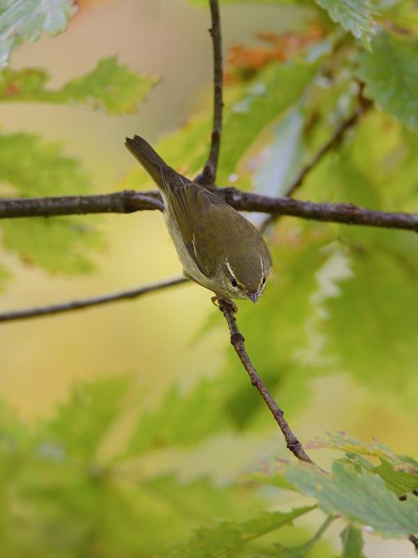 山小屋から鳥見(8)(秋色のメボソムシクイ)_a0204089_64249.jpg