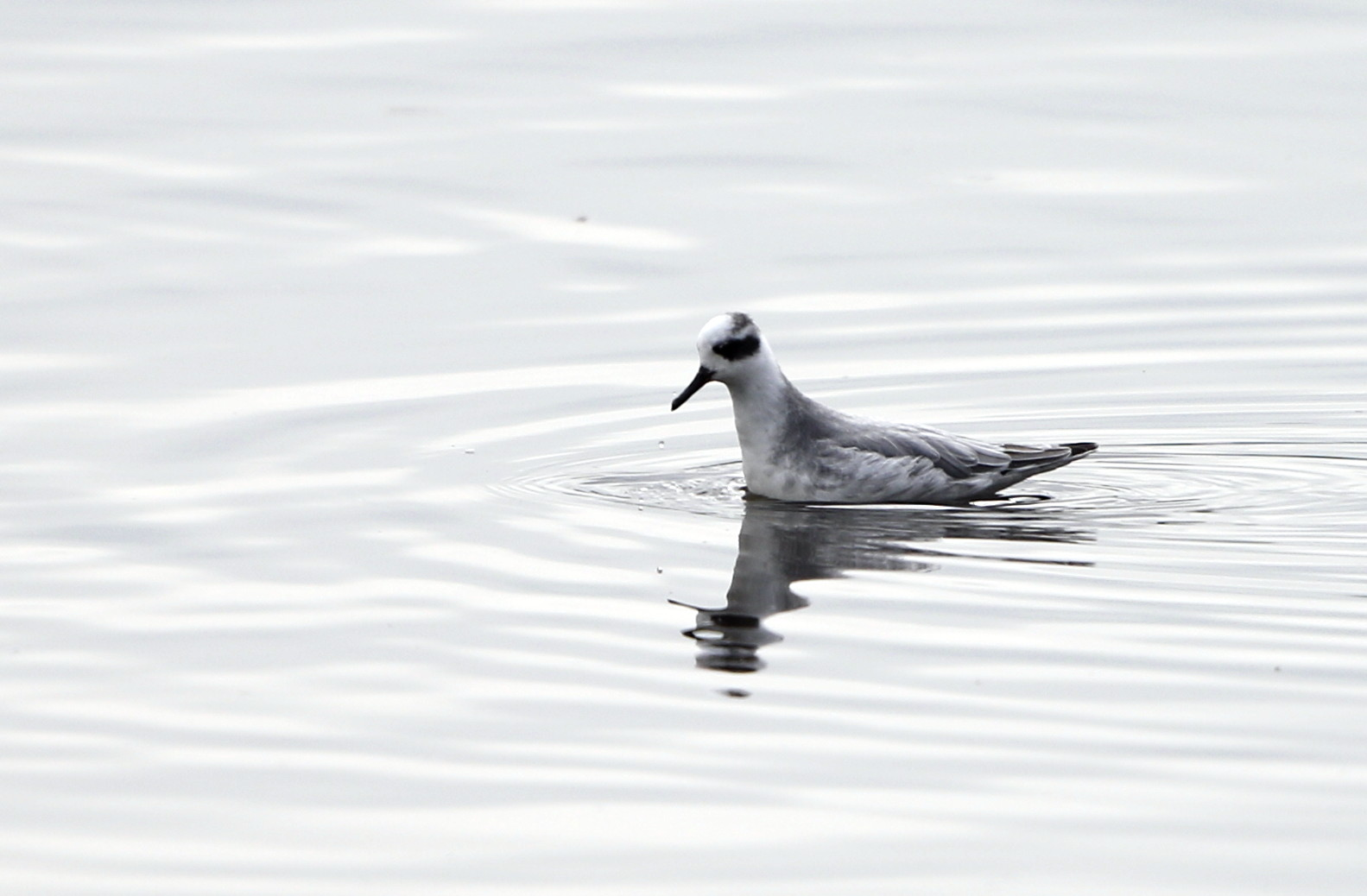 MFの沼にアカエリヒレアシシギが_f0239515_2072626.jpg