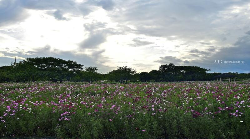 今年の秋桜_f0315034_15210880.jpg