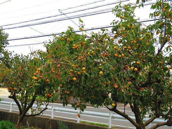 2017年10月26日 枝いっぱいの柿の実_b0341140_7354281.jpg