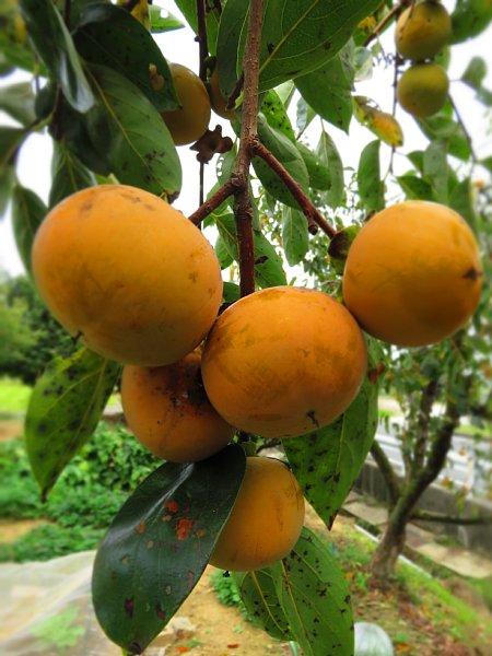 2017年10月26日 枝いっぱいの柿の実_b0341140_7364445.jpg