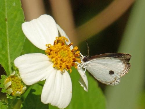 リュウキュウウラボシシジミなど   沖縄の蝶(その4)_d0353091_10392470.jpg