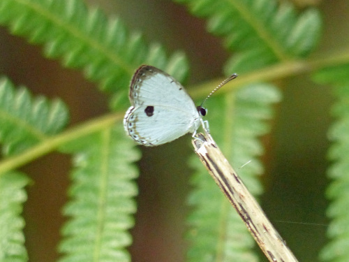 リュウキュウウラボシシジミなど   沖縄の蝶(その4)_d0353091_10404275.jpg