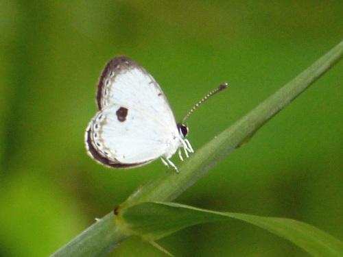 リュウキュウウラボシシジミなど   沖縄の蝶(その4)_d0353091_10410945.jpg