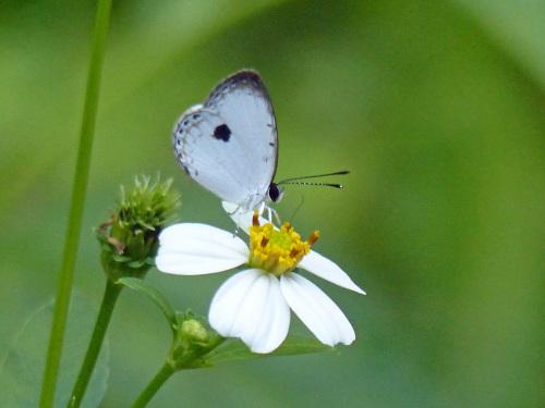 リュウキュウウラボシシジミなど   沖縄の蝶(その4)_d0353091_10413770.jpg