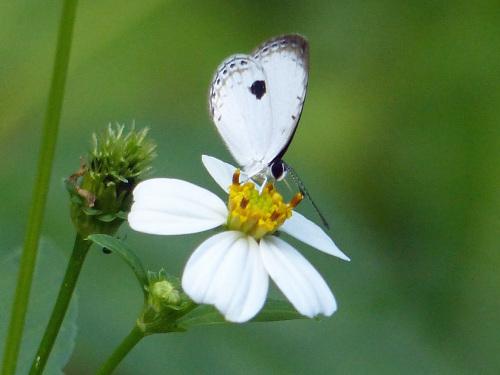リュウキュウウラボシシジミなど   沖縄の蝶(その4)_d0353091_10425477.jpg