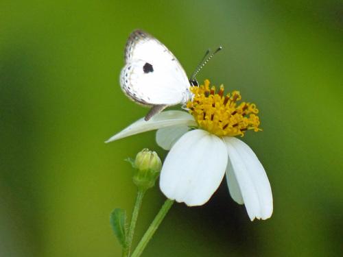リュウキュウウラボシシジミなど   沖縄の蝶(その4)_d0353091_10433580.jpg