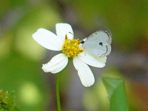 リュウキュウウラボシシジミなど   沖縄の蝶(その4)_d0353091_10441706.jpg