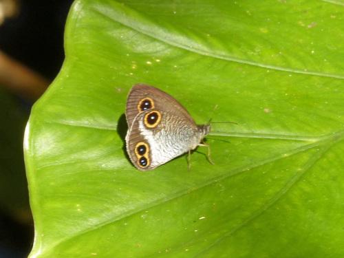リュウキュウウラボシシジミなど   沖縄の蝶(その4)_d0353091_10444733.jpg