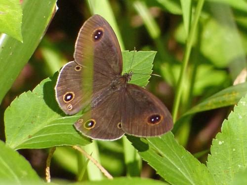 リュウキュウウラボシシジミなど   沖縄の蝶(その4)_d0353091_10454948.jpg