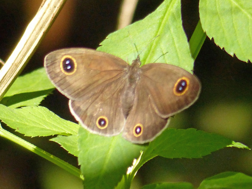リュウキュウウラボシシジミなど   沖縄の蝶(その4)_d0353091_10464511.jpg