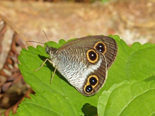 リュウキュウウラボシシジミなど   沖縄の蝶(その4)_d0353091_10471270.jpg