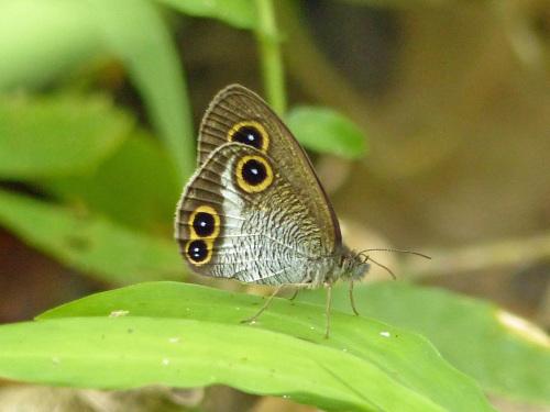 リュウキュウウラボシシジミなど   沖縄の蝶(その4)_d0353091_10474562.jpg