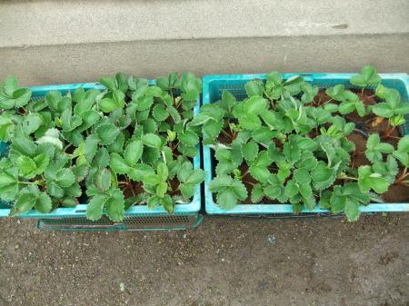 イチゴの苗が届き...台風襲来前に_b0137932_12583761.jpg