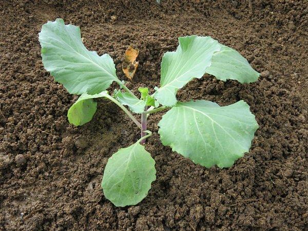 2017年10月28日 白菜に続いてキャベツ栽培も !_b0341140_6225268.jpg