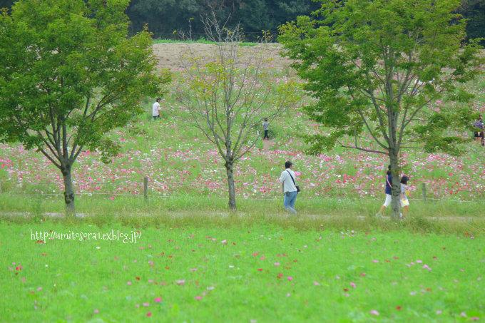 秋桜につつまれて_b0324291_00453938.jpg