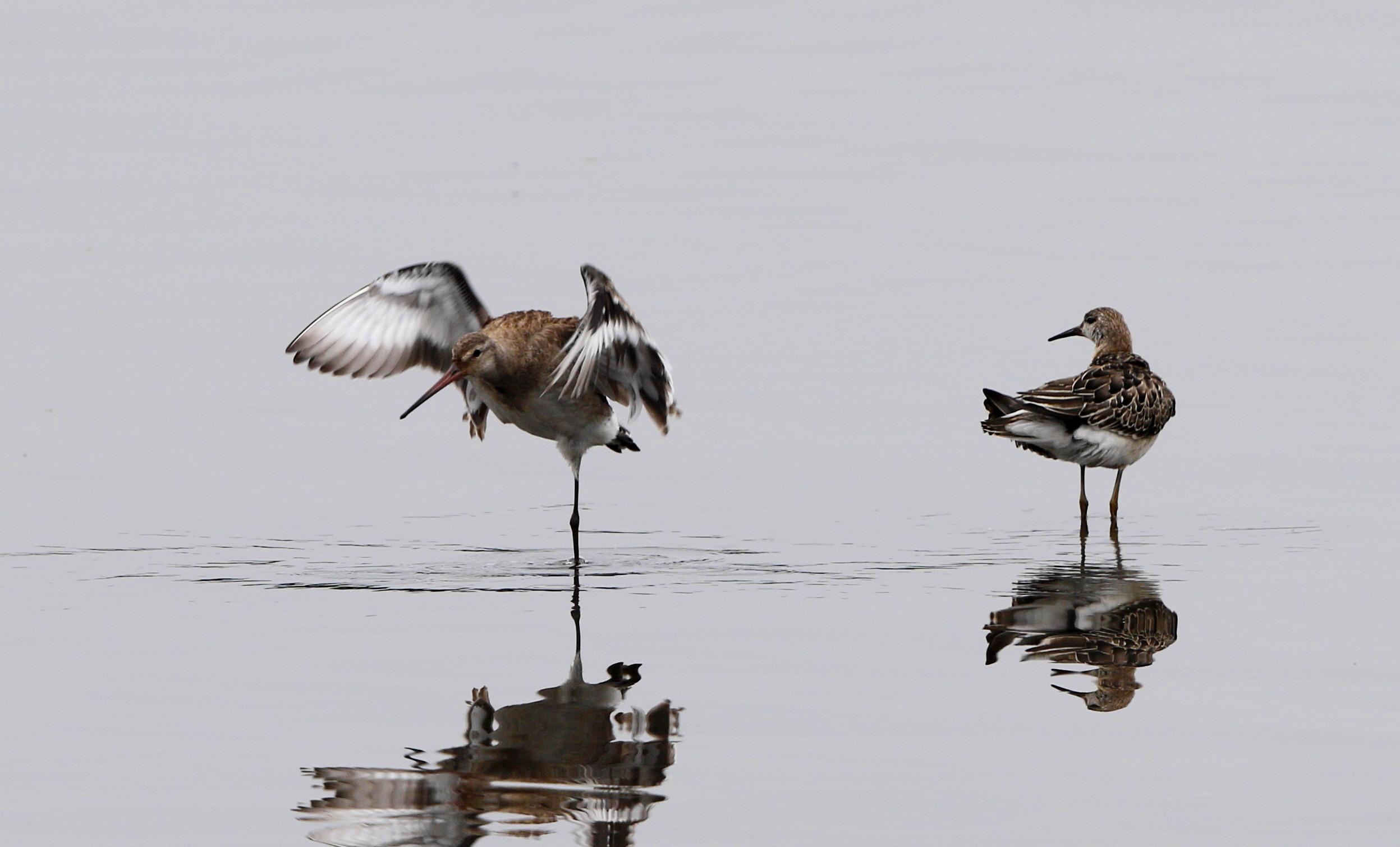 オグロシギの羽ばたきとエリマキシギ_f0239515_18545748.jpg