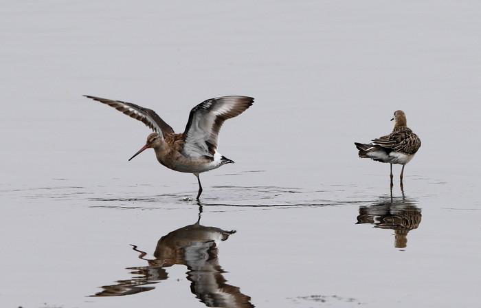 オグロシギの羽ばたきとエリマキシギ_f0239515_18551720.jpg