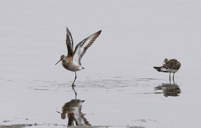 オグロシギの羽ばたきとエリマキシギ_f0239515_1855515.jpg