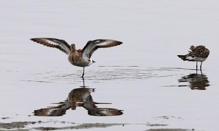 オグロシギの羽ばたきとエリマキシギ_f0239515_1858333.jpg