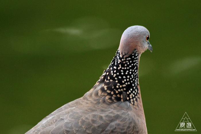 567 Kowloon Park ~香港の繁華街は野鳥の楽園~_c0211532_09415675.jpg