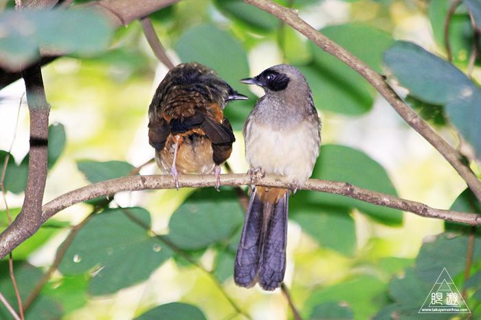 567 Kowloon Park ~香港の繁華街は野鳥の楽園~_c0211532_10011774.jpg