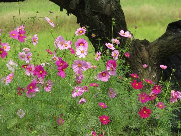 2017年10月25日 コスモスの花が咲く !_b0341140_2142215.jpg