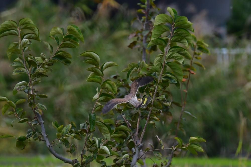 獲物を捕った鳥さん チョウゲンボウ ノビタキ_f0053272_23081535.jpg