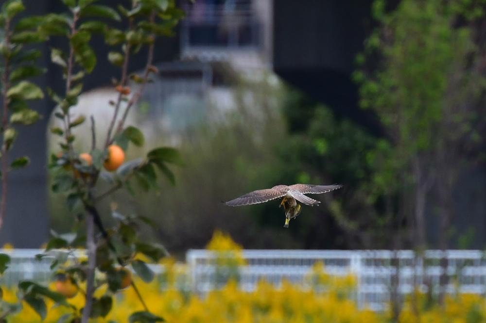 獲物を捕った鳥さん チョウゲンボウ ノビタキ_f0053272_23082442.jpg