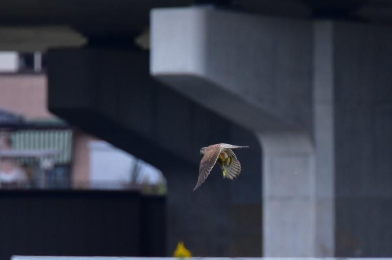 獲物を捕った鳥さん チョウゲンボウ ノビタキ_f0053272_23085402.jpg
