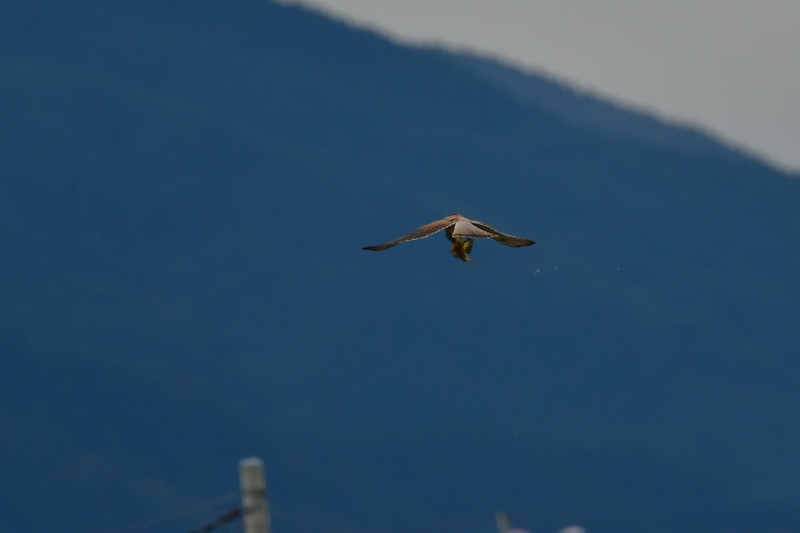 獲物を捕った鳥さん チョウゲンボウ ノビタキ_f0053272_23085981.jpg