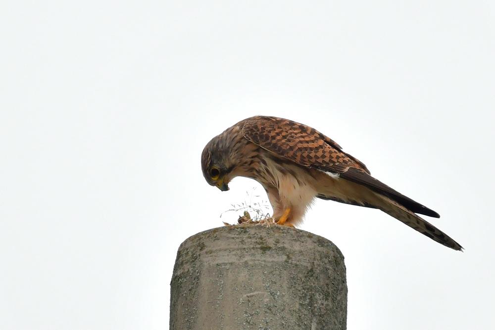 獲物を捕った鳥さん チョウゲンボウ ノビタキ_f0053272_23110655.jpg